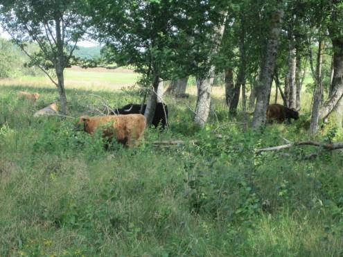 Rinderbeweidung im Naturschutzgebiet Schopflocher Moor